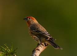 Male House Finch ~ Finch picture from Cortes Island Canada.