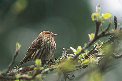 Pine Siskin ~ Finch picture from Cortes Island Canada.