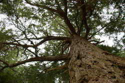 Coast Douglas-fir ~ Fir Tree picture from Cortes Island Canada.