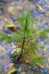 Young Douglas Fir at High water ~ Fir Tree picture from Cortes Island Canada.