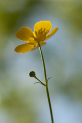 Buttercup -  Flower photo