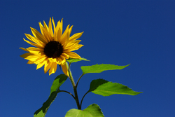 Sunflower ~ Flower picture from Cortes Island Canada.