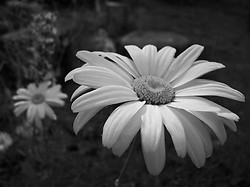 Daisies ~ Flower picture from Cortes Island Canada.