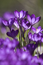 Purple Crocuses ~ Flower picture from Cortes Island Canada.