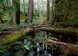 Forest picture from Cortes Island Canada.