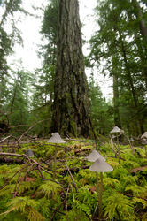 Old-growth Forest Floor -  Forest photo