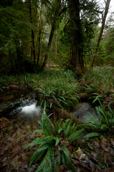 Deer Fern and Associates -  Forest photo