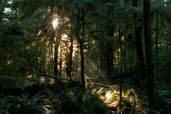 Sunlight in the Forest ~ Forest picture from Cortes Island Canada.