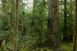 Old-growth Douglas Fir ~ Forest picture from Cortes Island Canada.
