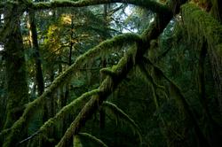 Lichen Heaven ~ Forest picture from Cortes Island Canada.