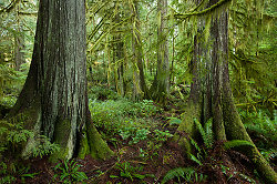 Cedar Forest ~ Forest picture from Cortes Island Canada.