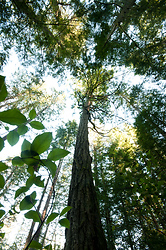 Looking into the Canopy ~ Forest picture from Cortes Island Canada.