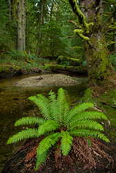 Sword Fern at the Mouth of James Creek -  Forest photo