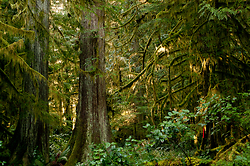 Cedars at Basil Brook ~ Forest picture from Cortes Island Canada.