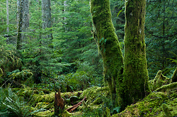 Moss-covered Alders  ~ Forest picture from Cortes Island Canada.