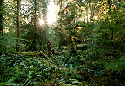 Light in the Forest No. 3 ~ Forest picture from Cortes Island Canada.