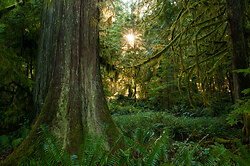 Light in the Forest No. 4 ~ Forest picture from Cortes Island Canada.