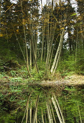Reflection ~ Forest picture from Cortes Island Canada.