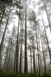 Fog in the Firs II ~ Forest picture from Cortes Island Canada.