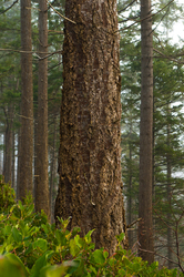 One Fir Tree ~ Forest picture from Cortes Island Canada.
