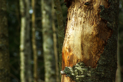 Insect Trails on Alder Trunk ~ Forest picture from Cortes Island Canada.