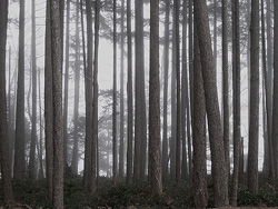 Firs in the Fog ~ Forest picture from Cortes Island Canada.