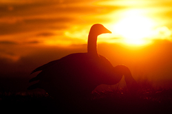 Silhouetted Geese  ~ Goose picture from Cortes Island Canada.