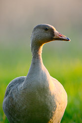 Anser Albifrons Portrait ~ Goose picture from Cortes Island Canada.