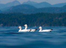 Chen Caerulescens ~ Goose picture from Cortes Island Canada.