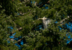 Roosting Great Blue Heron ~ Heron picture from Cortes Island Canada.