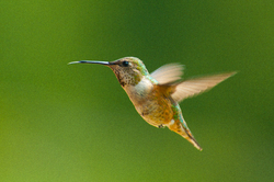 Selasphorus rufus - Rufus Hummingbird -  Hummingbird photo