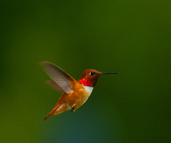 Selasphorus rufus ~ Hummingbird picture from Cortes Island Canada.
