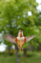 Rufus Hummingbird -  Hummingbird photo