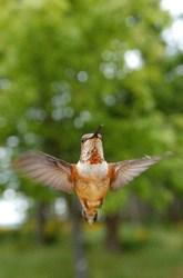 Rufus Hummingbird ~ Hummingbird picture from Cortes Island Canada.