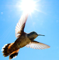 Rufus Hummingbird Hovering in Sunlight ~ Hummingbird picture from Cortes Island Canada.