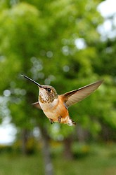 Rufus Hummingbird in flight close up ~ Hummingbird picture from Cortes Island Canada.