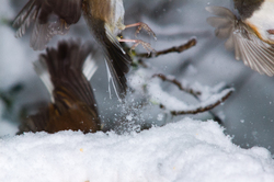 Lift Off -  Junco photo