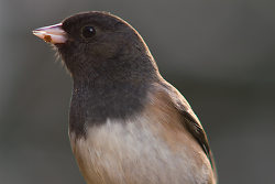 Dark-Eyed Junco ~ Junco picture from Cortes Island Canada.