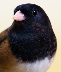Junco hyemalis -  Junco photo