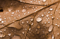 Droplets on Oak Leaf ~ Leaf picture from Cortes Island Canada.
