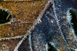 Frosted oak leaf -  Leaf photo