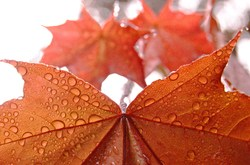 Maple Leaves -  Maple Tree photo