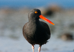 Black Oystercatcher Portrait -  Oystercatcher photo