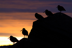 Black Oystercatcher ~ Oystercatcher picture from Cortes Island Canada.