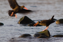 Holding One's Own ~ Oystercatcher picture from Cortes Island Canada.