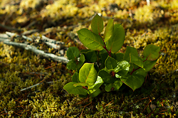Small Salal ~ Plant  picture from Cortes Island Canada.
