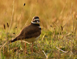 Charadrius vociferus -  Plover photo