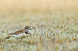 Killdeer in a Meadow of Morning Dew ~ Plover picture from Cortes Island Canada.