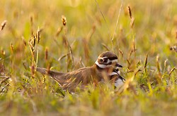 Mother Killdeer ~ Plover Photo from Cortes Island Canada.