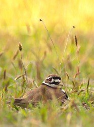 Sitting Killdeer  ~ Plover picture from Cortes Island Canada.